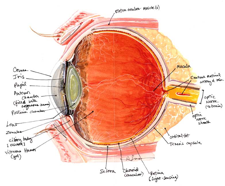 eye anatomy artificial eye clinic
