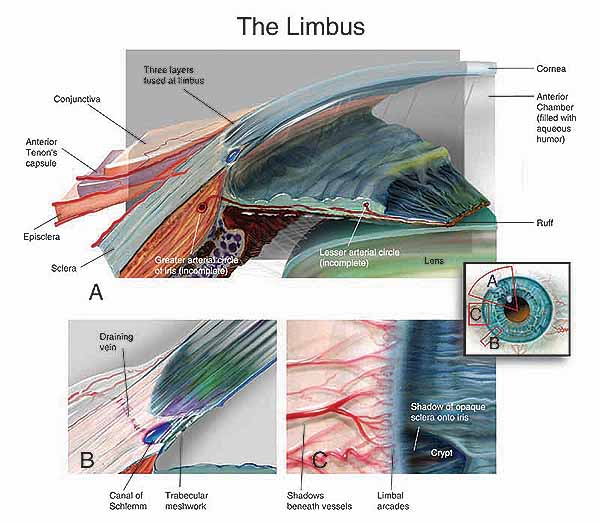 Iris, Limbus and Sclera | Artificial Eye Clinic